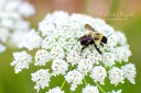 macro photography - summer bee