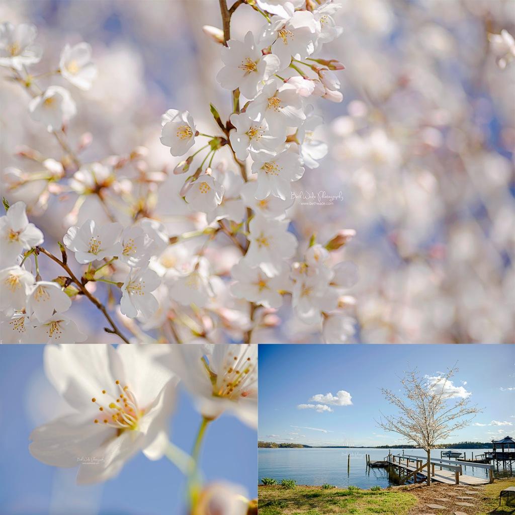 papa's tree ~ cherry blossom in memory {charlotte family photographer}